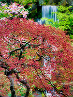 Watrfalls and cherry blossoms with japanese maple early growth. Portland Japanese Gardens, Oregon.