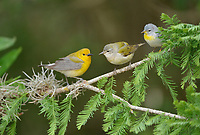 Prothonotary Warbler (Protonotaria citrea), adult female and Tennessee Warbler (Vermivora peregrina) and Northern Parula (Parula americana), South Padre Island, Texas, USA