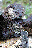 The River Otter (Lutra canadensis). For most otters, fish is the staple of their diet. This is often supplemented by frogs, crayfish and crabs. Some otters are expert at opening shellfish, and others will feed on available small mammals or birds. Prey-dependence leaves otters very vulnerable to prey depletion.
