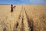 Photographer settting up large format camera in wheat field Eastern Washington USA