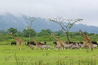"Maasai Giraffe, Plains zebra, Cape buffalo and Cattle egret are drawn to the lush vegetation of the ""Little Serengeti"" following the long rains of May.  Serengeti Ndogo, Arusha National Park, Tanzania"