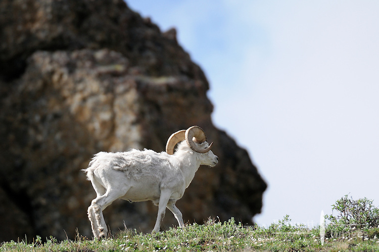 A Dall sheep ram trots along a bluff overlooking the Kongakut River, in Alaska's Arctic National Wildlife Refuge.