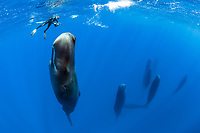 snorkeler photographing a pod of sleeping sperm whales, Physeter macrocephalus, according to a study, sperm whales doze in the upright drifting posture for about 10 to 15 minutes at a time, Dominica, Caribbean Sea, Atlantic Ocean, photo taken under permit n°RP 16-02/32 FIS-5