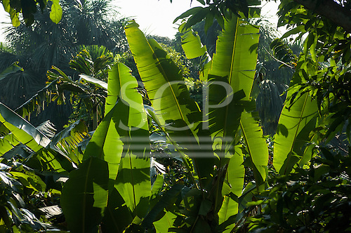 Amazon, Brazil. Banana leaves, back lit and green.