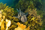 Port Jackson shark, Heterodontus portusjacksoni,.Albany, Western Australia