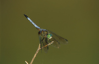 Blue Dasher, Pachydiplax longipennis, male perched, Welder Wildlife Refuge, Sinton, Texas, USA, June 2005