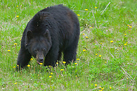 Black Bear eating dandelion flowers.