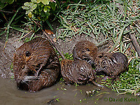 0715-0811  Family of Nutria (syn. Coypu), Myocastor coypus © David Kuhn/Dwight Kuhn Photography