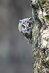 """An owl appears to play a game of peek-a-boo with a photographer by peering out from behind a tree.  The wild, long-eared owl seemed to be curious about the camera after spying it in woodland near the small village of Diessen, the Netherlands, where these photos were taken by keen amateur photographer Albert Beukhof.<br /> <br /> The 44 year old, who also works as a landscape architect, said: """"There were two owls sitting on the tree, but when I walked towards them one flew away.  SEE OUR COPY FOR DETAILS.<br /> <br /> Please byline: Albert Beukhof/Solent News<br /> <br /> © Albert Beukhof/Solent News & Photo Agency<br /> UK +44 (0) 2380 458800"""
