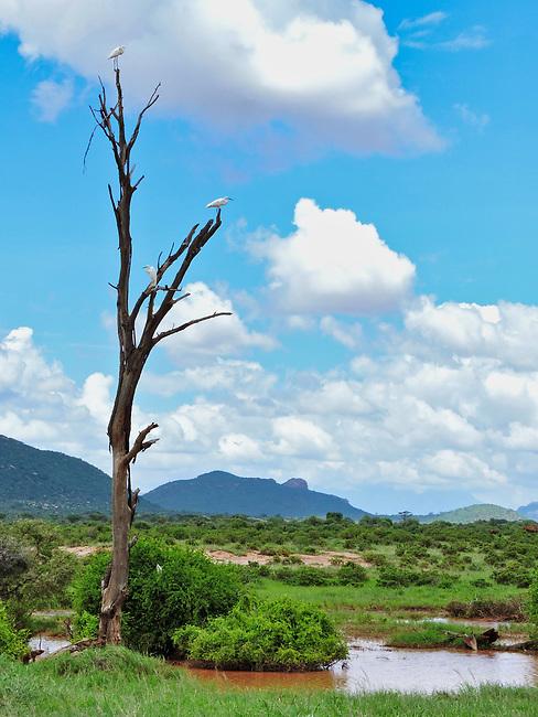 Cattle Egret Perch, Samburu