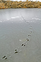 Frozen canal with racoon tracks. Lower Klamath Falls National Wildlife Refuge, California