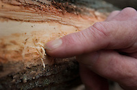 A worker points out ash borer beetle damage to an ash tree removed from a forest near Toledo, Ohio. The trees are being destroyed by the ash borer beetle, an invasive species of beetle  thought to have brought into the country from China in wooden pallets used to carry imported goods. The beetle kills the trees by boring under the bark. ..<br />