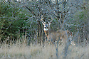 00274-307.07 White-tailed Deer Buck (DIGITAL) with huge antlers is in meadow on edge of oak and pine forest. Hunt, rut.  H4L1