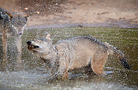 """BNPS.co.uk (01202) 558833<br /> Pic: ZacharyCulpin/BNPS<br /> <br /> Wolf Cool <br /> <br /> SEQUENCE 6 of 6<br /> <br /> Wild swimming - a pack of European wolves enjoy a cooling dip at Longleat as temperatures<br /> start to rise ahead of a predicted heatwave over the weekend.<br /> The wolves, which were once native across the UK, were introduced to their Wiltshire<br /> woodland home in 2019.<br /> Since arriving at Longleat the pack has grown significantly with the arrival of two sets of<br /> cubs.<br /> """"The wolves actually love the water, especially during the summer, and will spend quite a lot<br /> of time splashing about in their pond and using it as somewhere to cool down,"""" said keeper<br /> Ian Turner."""