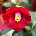 Camellia japonica (Purpurea Group) 'Kon-wabisuki', glasshouse, early February.