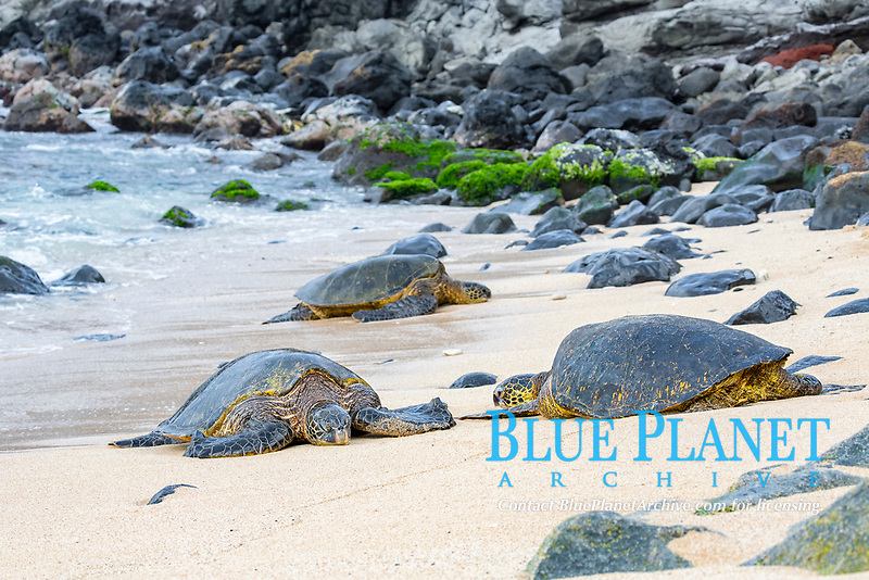 green sea turtles, Chelonia mydas, basking in the sun at Ho'okipa Beach on Maui, Hawaii, USA, Pacific Ocean