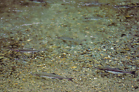 Chum Salmon (Oncorhynchus keta) sometimes called dog salmon in freshwater stream on spawning run.