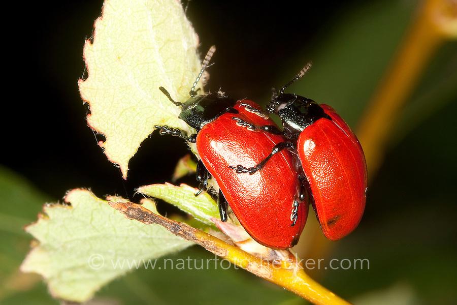Pappelblatt-Käfer, Roter Pappelblattkäfer, Paarung, Kopulation, Kopula, Chrysomela populi, Melasoma populi, Red poplar leaf-beetle, poplar leaf beetle, poplar beetle