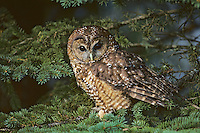 Spotted Owl (Strix occidentalis) old growth forests, Pacific N.W.