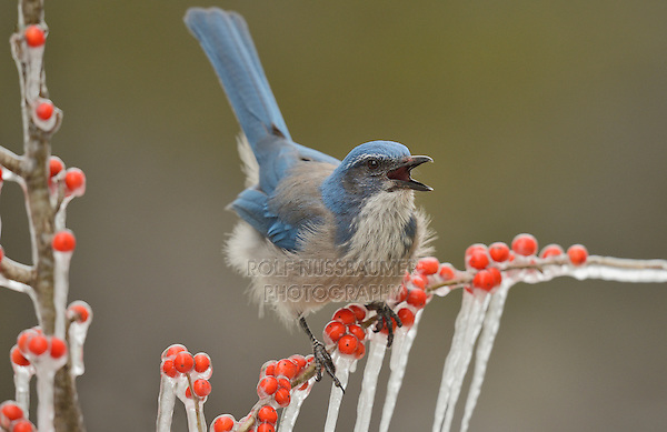 Western Scrub-Jay (Aphelocoma californica), adult calling on icy branch of Possum Haw Holly (Ilex decidua) with berries, Hill Country, Texas, USA