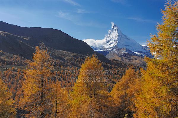 Matterhorn with larch trees in autumn, Zermatt, Valais, Switzerland