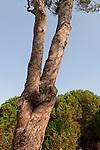 T-002 Pine tree in the Bahai Garden