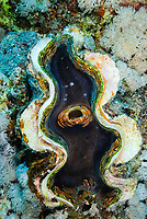 Inside a giant clam, latin name Tridacna squamosa, Saint John's reef, Red Sea, Egypt