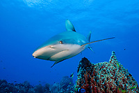 Caribbean reef shark, Carcharinus perezii, Bahamas (W. Atlantic) (do)