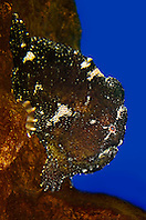 Commerson's frogfish or giant frogfish, Antennarius commerson, camouflaging like a rock, Indo-Pacific Ocean (c)