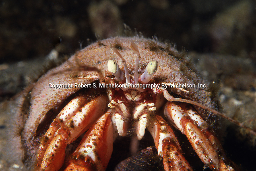 Acadian hermit crab, close-up