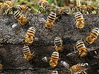 Fanning bees in full force on the flight board. The fanning bees (+- 18 days after birth) create an air stream through the colony to decrease the humidity, regulate the temperature and renew the air.- Ventileuses en nombre sur la planche d'envol. Les ventileuses (+- 18 jours depuis la naissance) créent un courant d'air au travers de la colonie, pour en diminuer l'humidité, réguler la température, et renouveler l'air.