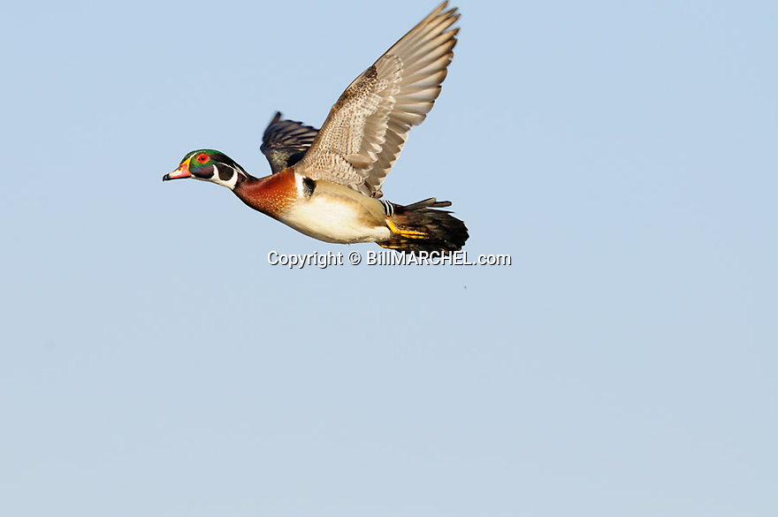 00360-105.13 Wood Duck drake in flight.  Fly, hunt, action, waterfowl.