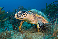 hawksbill sea turtle, Eretmochelys imbricata, Palm Beach, Florida, USA, Atlantic Ocean