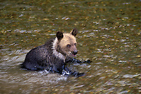 Grizzly Bear Cub - age 5 months - playing in a river. Summer. Rocky Mountains. (Ursus arctos).