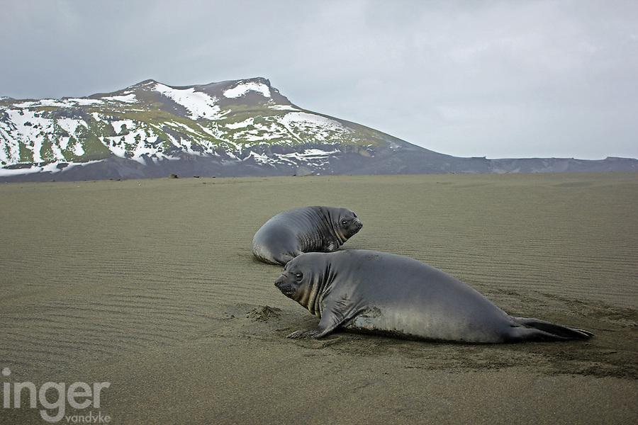 Southern Elephant Seal pups on Heard Island, Antarctica