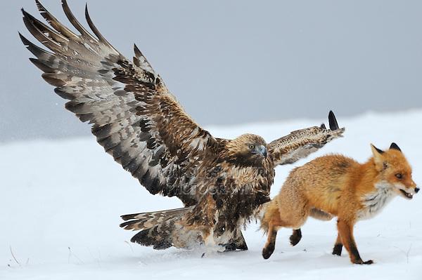 Golden Eagle (Aquila chrysaetos), adult defending carcass against Red Fox (Vulpes vulpes), Sinite Kamani National Park, Bulgaria, Europe