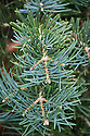 Abies concolor 'Compacta', (Compact white fir), a slow-growing dwarf evergreen conifer to 2m in height, of irregular, spreading shape, with long, slender blue-grey needles.