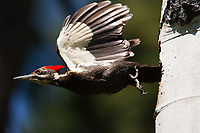 A female Pileated Woodpecker darts from her cavity after feeding her young. Pileated Woodpeckers excavate the largest cavity of any North American bird, holes that play host to a wide variety of animals, including several owl species.