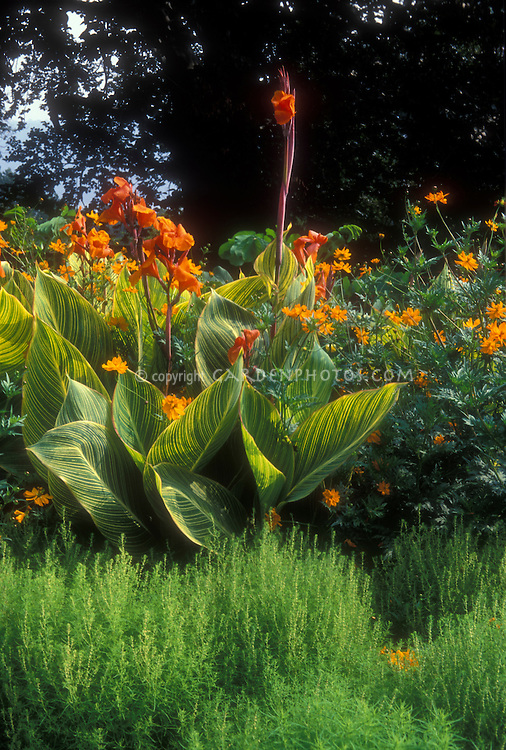 Canna x generalis Striata aka 'Praetoria' (Bengal Tiger), Bassia, Cosmos sulphureus 'Polidor', in beautiful summer garden planting combination of yellow, green and orange, with striped leaves