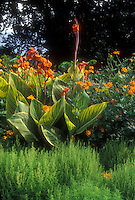Canna x generalis Striata aka 'Praetoria' (Bengal Tiger), Bassia, Cosmos sulphureus 'Polidor', in beautiful summer garden planting combination of yellow, green and orange, with striped leaves