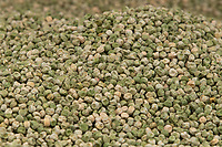 6-3-2021 Vinin pea seed <br /> ©Tim Scrivener Photographer 07850 303986<br />      ....Covering Agriculture In The UK....