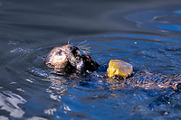 southern sea otter, Enhydra lutris nereis, feeding by using a rock to open a clam, Monterey Bay, California, USA, Pacific Ocean