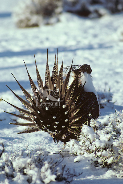Sage grouse male strutting, March, Western U.S.