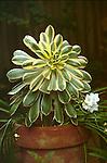 11694-BQ Variegated Succulent, Aeonium decorum `Starburst', and white Freesia in clay pot, at Camarillo, CA USA