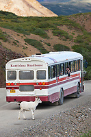 Visitors in a Kantishna Roadhouse tour bus photograph and view dall sheep in Polychrome pass, Denali National Park, Interior, Alaska.