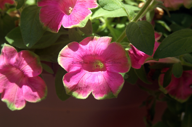 The green edging and throat on the pink petunua provides a pleasing contrast.