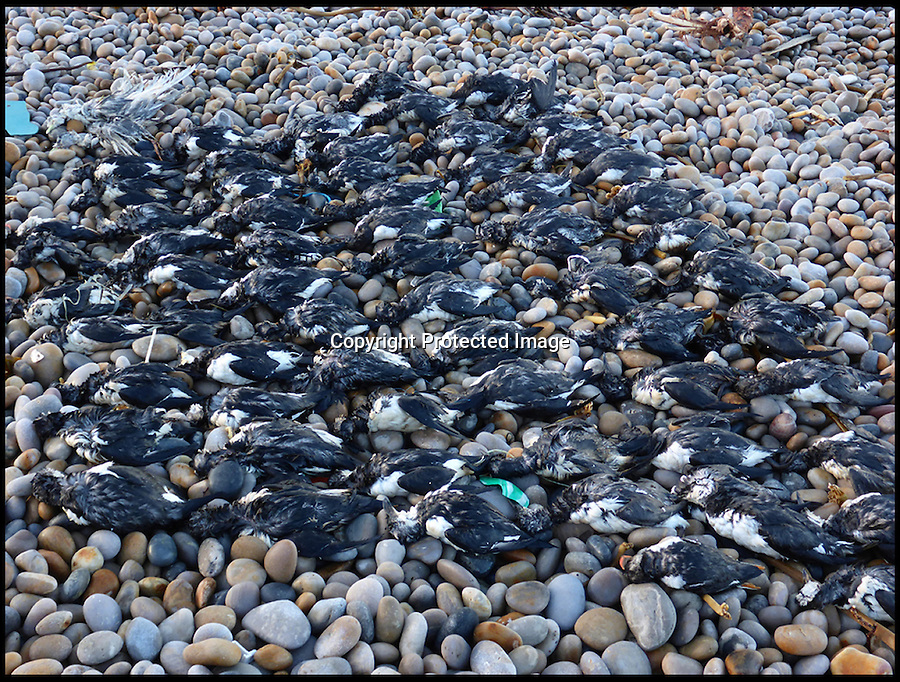 """BNPS.co.uk ()1202 558833)<br /> Pic: MarcSmith/DWT/BNPS<br /> <br /> ***Must Use Full Byline***<br /> <br /> The relentless storms have killed many seabirds.<br /> <br /> A plucky razorbill bird has had an amazing escape after it was found trapped inside a wire cage that makes up sea defences having been washed into by the recent storms.<br /> <br /> The helpless sea bird was swept into the gabion - a large cage filled with rocks and shingle to stabilise the shoreline - by powerful 30ft waves.<br /> <br /> Wildlife volunteers found it wedged inside as they picked up about 100 dead sea birds that had died as a result of the winter storms from off the beach at Chiswell Cove, Portland, Dorset.<br /> <br /> The puffins, guillemots, razorbills and kittiwakes have perished because heavy seas have meant they have been unable to hunt for fish.<br /> <br /> The stranded razorbill was found alive from the gabion and taken to an RSPCA centre to recuperate.<br /> <br /> Angela Thomas, an assistant warden at the Chesil Bank and Fleet Nature Reserve, said: """"The force of the waves had emptied the shingle from the metal cage, but somehow a razorbill had become trapped inside.<br /> <br /> """"It was hard to get it out, it would not have escaped without our help, so we're glad we managed to spot it."""""""