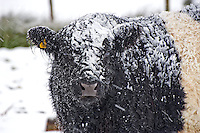 Belted Galloway cattle in the snow....Copyright..John Eveson, Dinkling Green Farm, Whitewell, Clitheroe, Lancashire. BB7 3BN.01995 61280. 07973 482705.j.r.eveson@btinternet.com.www.johneveson.com