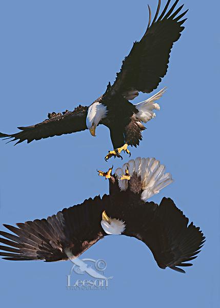 Bald Eagles mating behavior