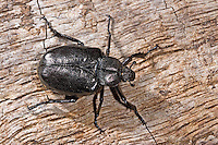 Eremit, Juchtenkäfer, Osmoderma eremita, hermit beetle, Russian leather beetle, Le pique-prune, scarabée pique-prune
